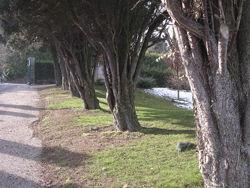 Cyprès vers le cimetière